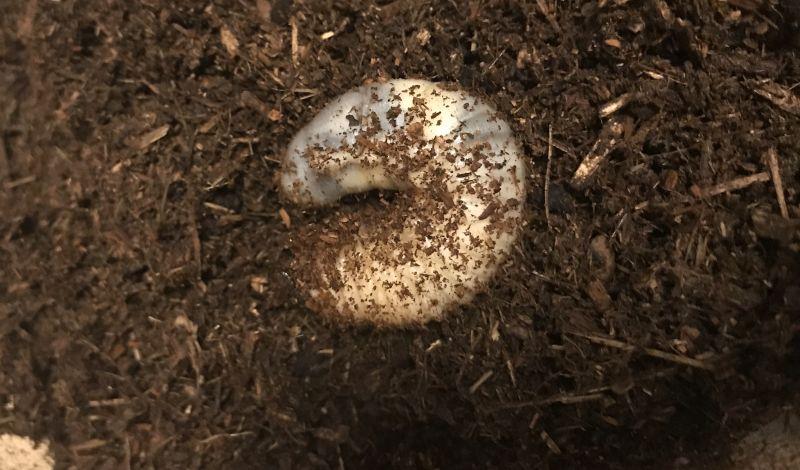 3ヶ月目のカブトムシの幼虫